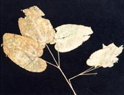 Herba Epimedii, Ying Yang Huo, หยิมเยี่ยงขัก