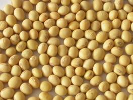soybean,ถั่วเหลือง