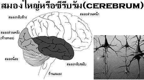 ภาพสมอง,แผนผังสมอง
